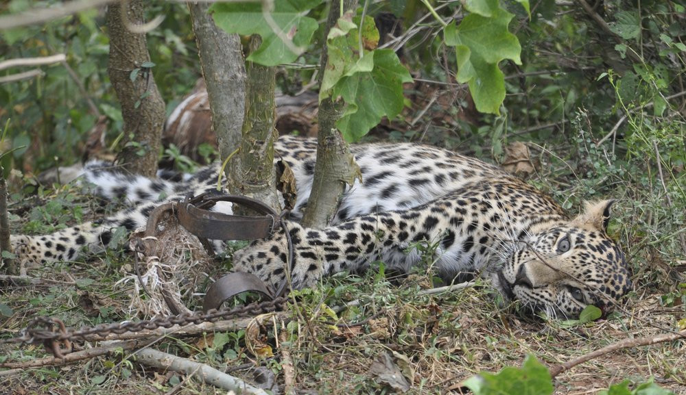 This November 2014 photo provided by the Wildlife Trust of India shows a leopard caught in a trap in a forest in Karnataka, India.