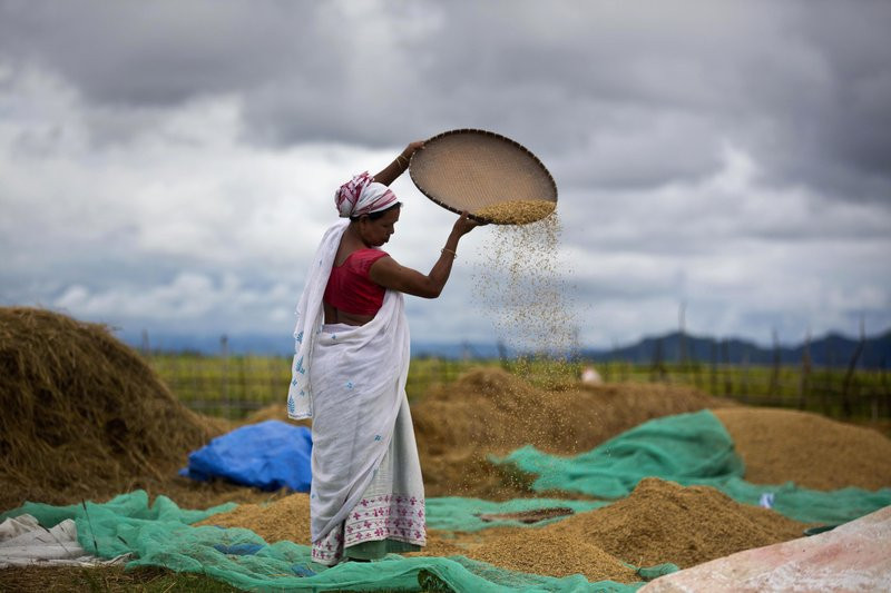 In this June 13, 2018 file photo, an Indian woman separates grain from the husk in a paddy field in Mayong village on the outskirts of Gauhati, India.
