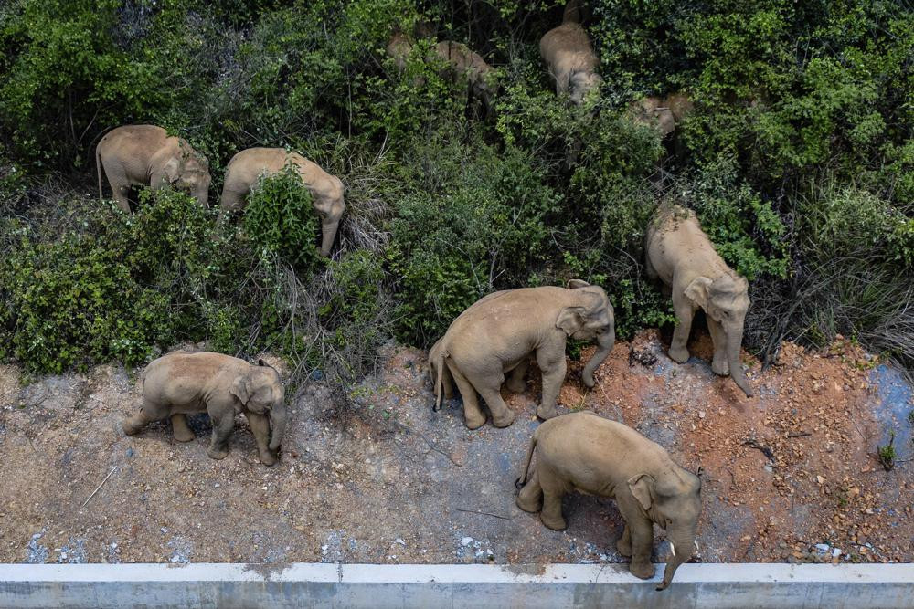 In this aerial photo file photo taken on May 28, 2021, and released by China's Xinhua News Agency, a herd of wild Asian elephants stands in E'shan county in southwestern China's Yunnan Province.