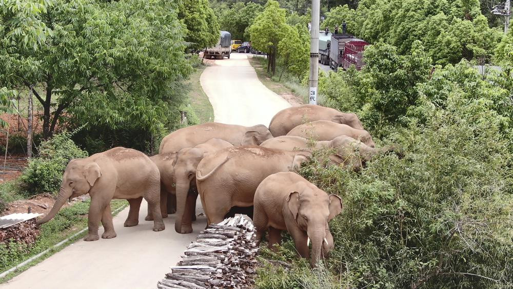 In this photo taken June 4, 2021, and released by the Yunnan Forest Fire Brigade, a migrating herd of elephants graze near Shuanghe Township, Jinning District of Kunming city in southwestern China's Yunnan Province.