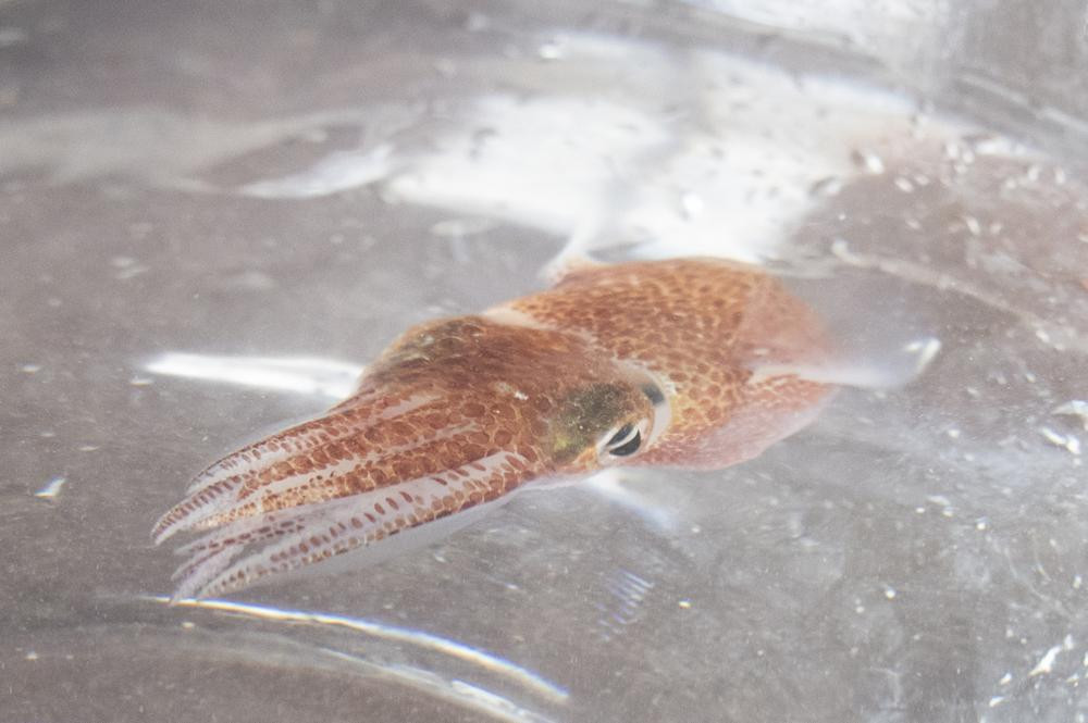 A squid is shown at a lab in Honolulu on June 11, 2021.
