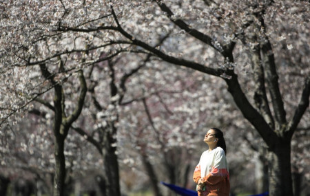 In this March 26, 2020, photo, a person takes in the afternoon sun amongst the cherry blossoms along Kelly Drive in Philadelphia.