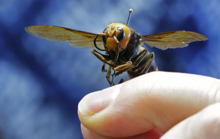 In this May 4, 2020, file photo, an Asian giant hornet from Japan is held on a pin by Sven Spichiger, an entomologist with the Washington state Dept. of Agriculture in Olympia, Washington.