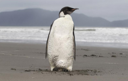 In this June 21, 2011 file photo, an Emperor penguin stands on Peka Peka Beach of the Kapiti Coast in New Zealand.