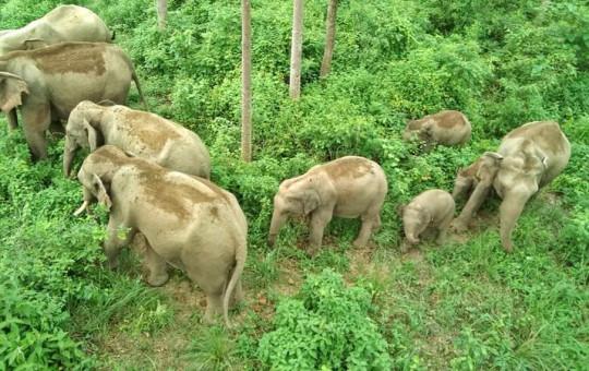Wild elephants that came to Bardia National Park from India. Photo Courtesy: Shivaram Chaudhary